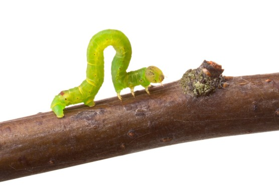 INCHWORM - inching toward bump in branch